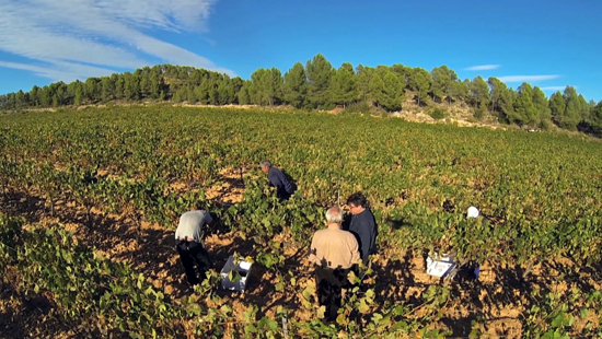 Harvesting in the Pago de los Balagueses